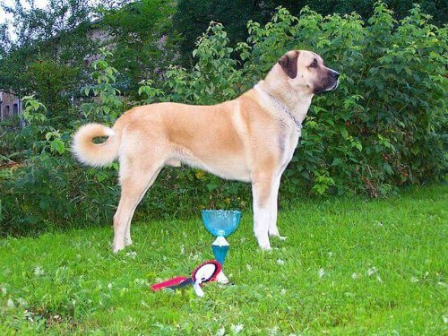 Cão Kangal Turco