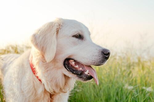 Labrador Inteligente