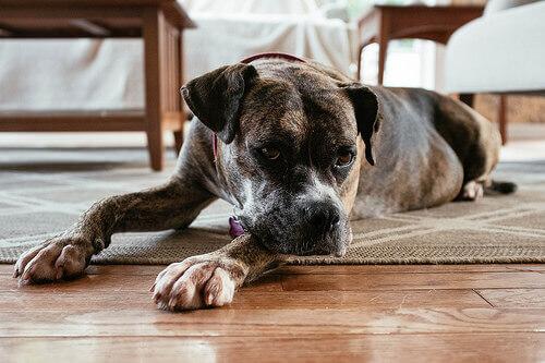 Cão com convulsão: como tratar