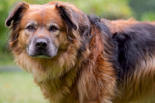 O que esconde a cara de culpa de um cão