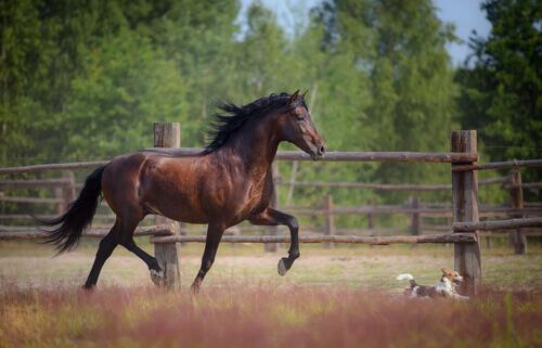 Cavalo árabe correndo com cachorro