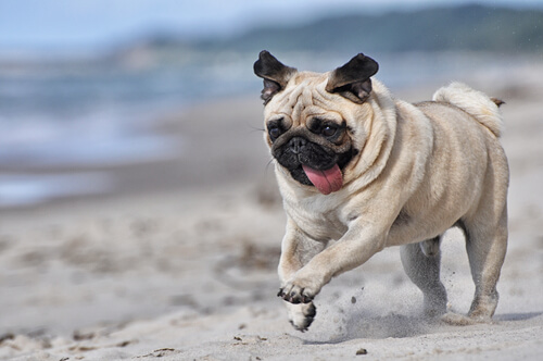 Pug correndo na praia