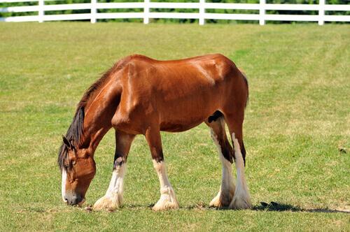 Cavalo pastando