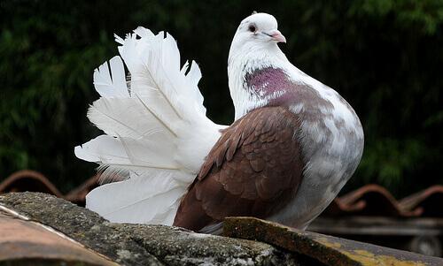 Cuidados com pombos: dicas e conselhos