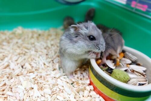 Comportamento dos hamsters: informações úteis