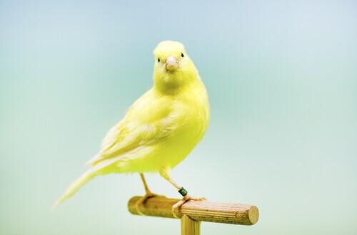 Canário amarelo no poleiro