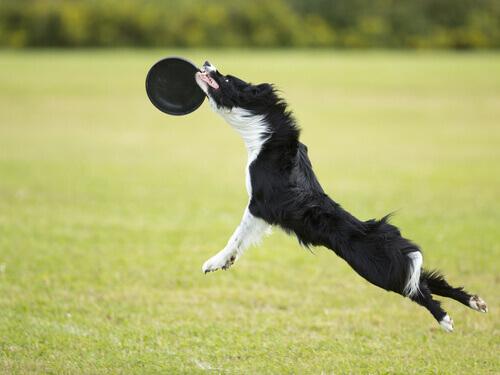 Brincadeiras no parque: o Disc Dog