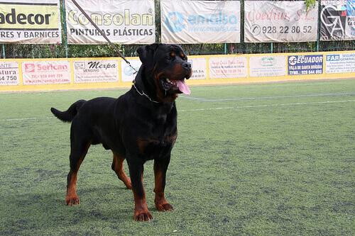 Educar um cão dominante: Rotweiller