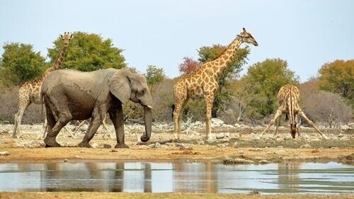 Girafas e elefante na África