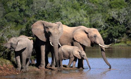 Família de elefantes bebendo água