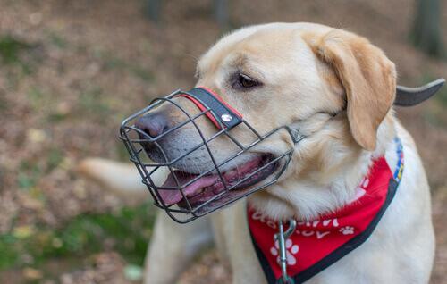 Ensinar um cão a usar focinheira: veja dicas