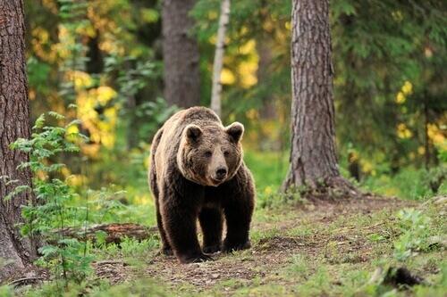 Espécies de ursos: conheça mais sobre esse animal