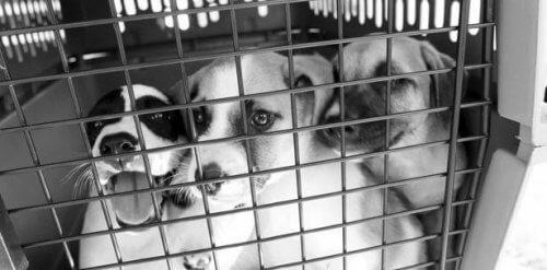 A esperança de vida para cães abandonados