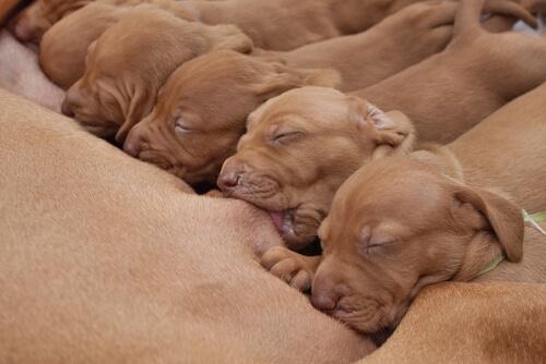 filhotes de cachorro mamando