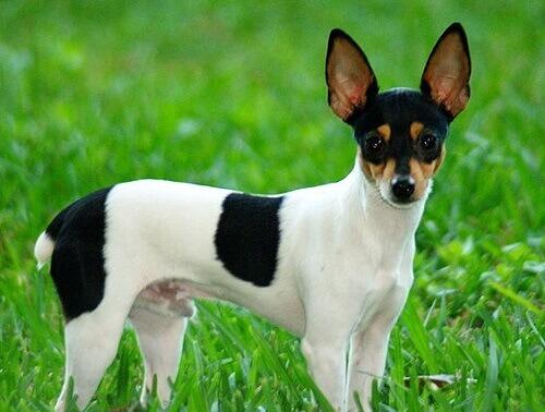 Toy Fox Terrier: conheça a raça