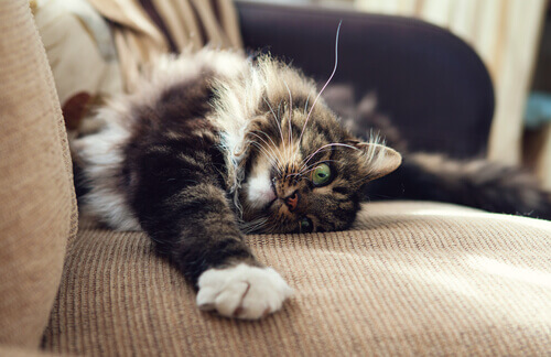 Gato arranhando um sofá