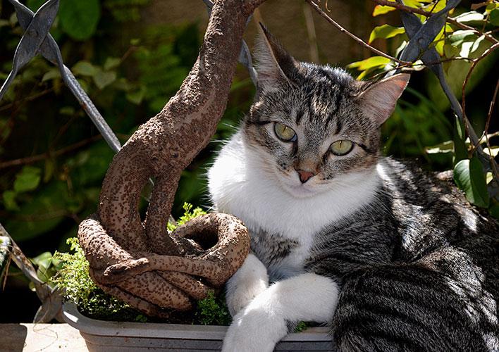 Gato de pelo curto brasileiro