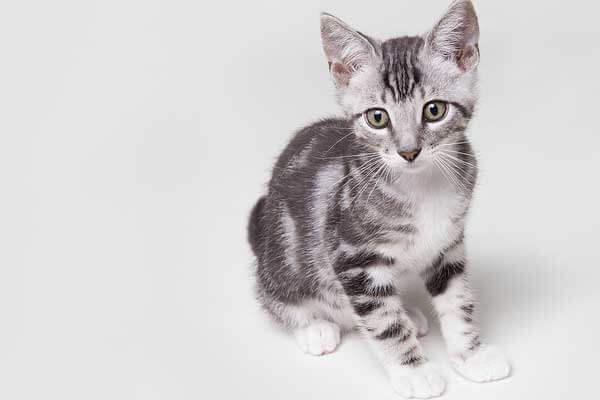 Filhote de gato vira-lata