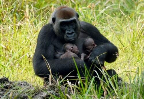 Gorila abraçando dois filhotes