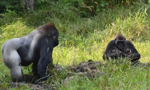 Gorilas na selva