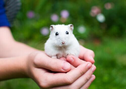 Hamster na mão de uma criança