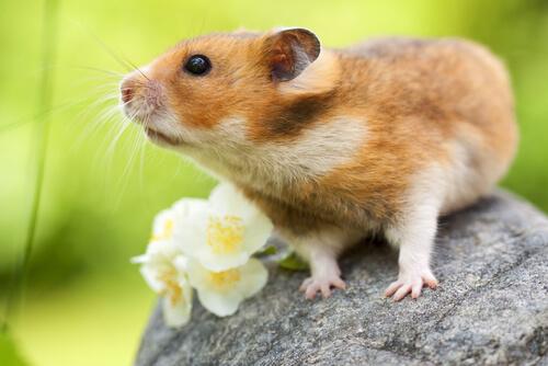 Hamster com flores sobre uma pedra