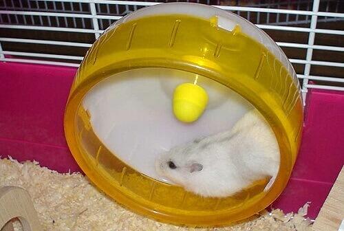 hamster correndo na roda