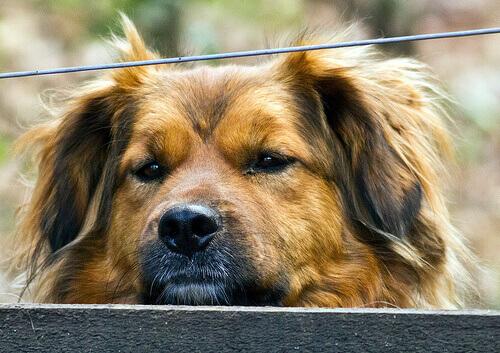 Hepatite canina: causas, sintomas e tratamento