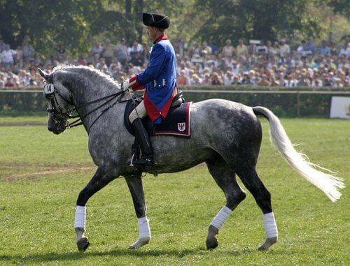 Cavaleiro montado num Holsteiner