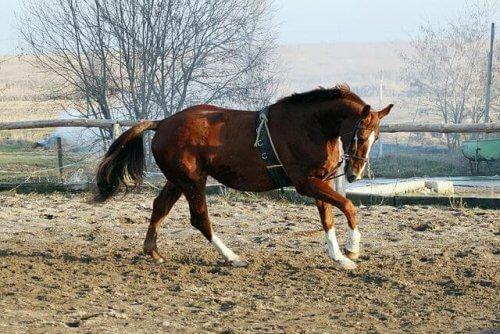 Holsteiner, a elegância personificada em um cavalo