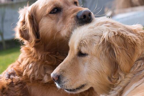 Cães se cumprimentando