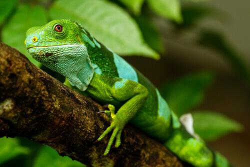 A iguana como animal de estimação