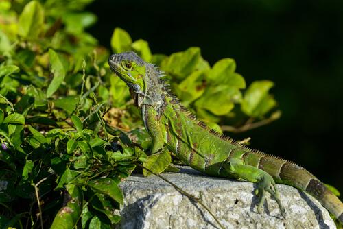 Saiba mais sobre a criação de iguanas