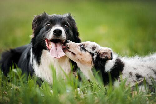 A integração de um novo cão na família
