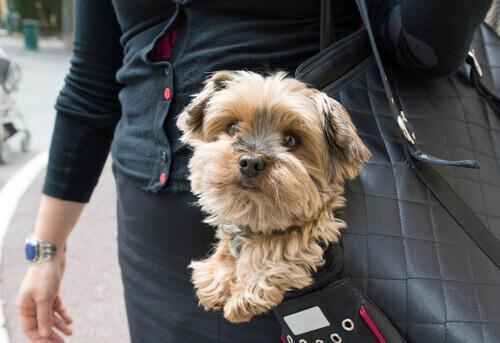 Cachorrinho passeando numa bolsa