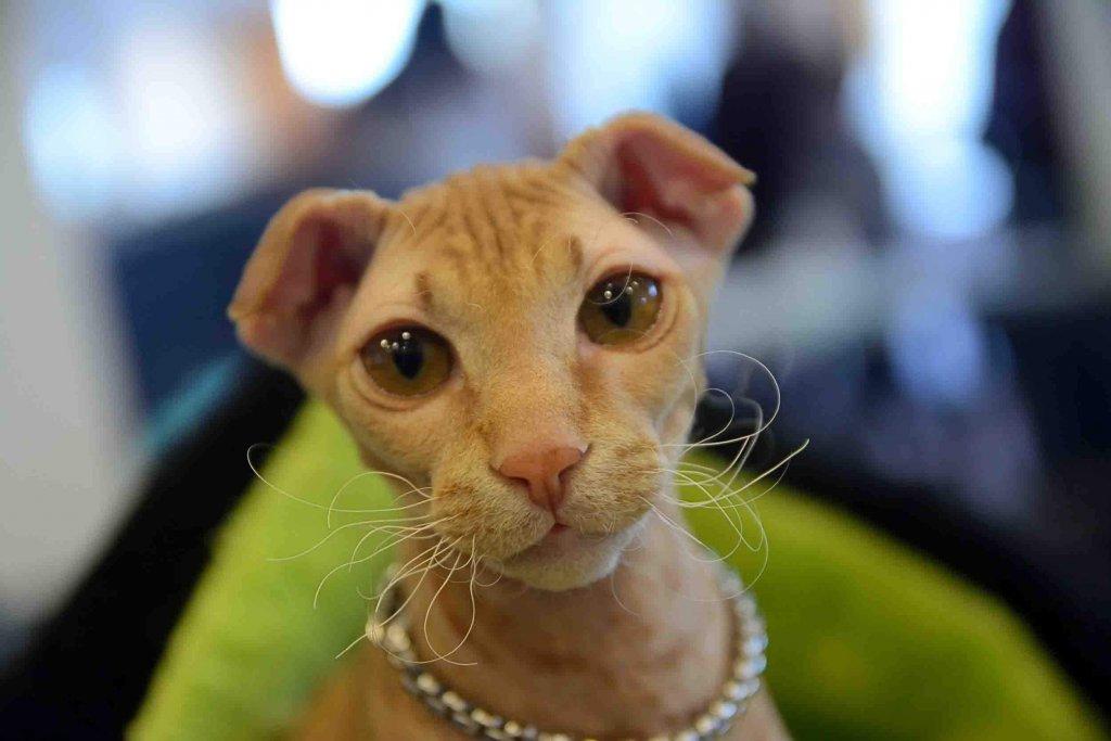 Levkoy ucraniano: conheça esse gato