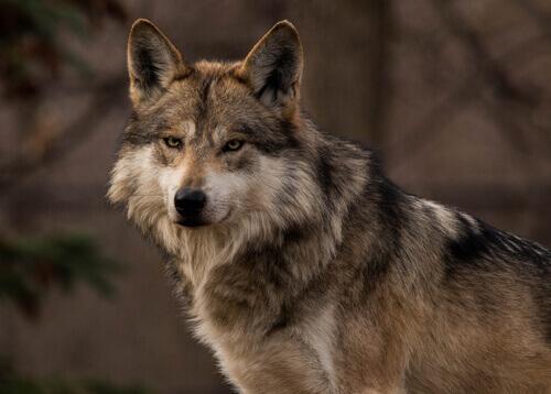 lobo cinza mexicano