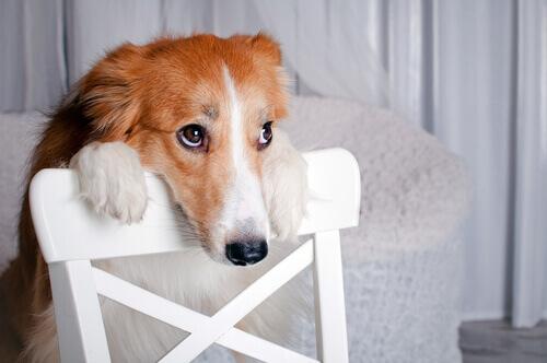 Cachorro apoiado em cadeira, com olhar medroso
