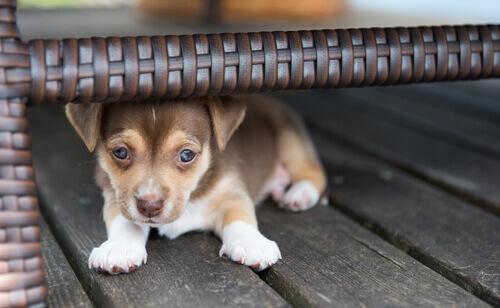 Filhote de cachorro se escondendo embaixo de um móvel