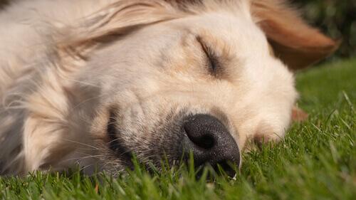 Cachorro dormindo na grama