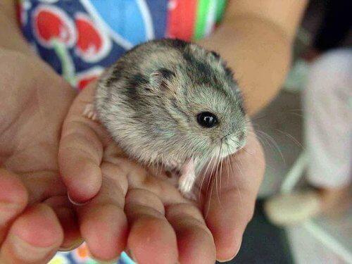 Devo me preocupar com uma mordida de hamster?