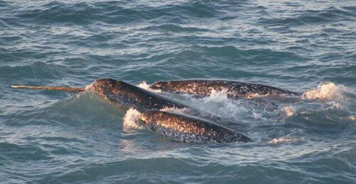 Narval: conheça o unicórnio dos mares