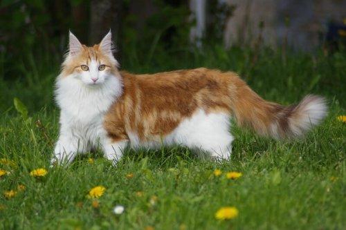 Norueguês da floresta: o gato que veio do frio