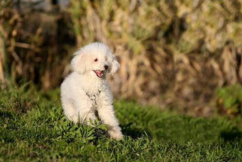 O poodle: uma das raças de cães da frança