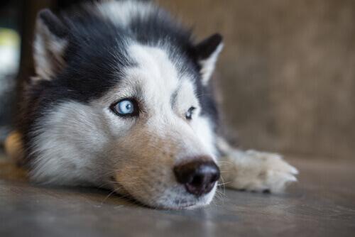 Cachorro de olhos azuis