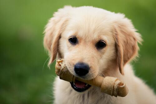 Filhote de cachorro com osso na boca
