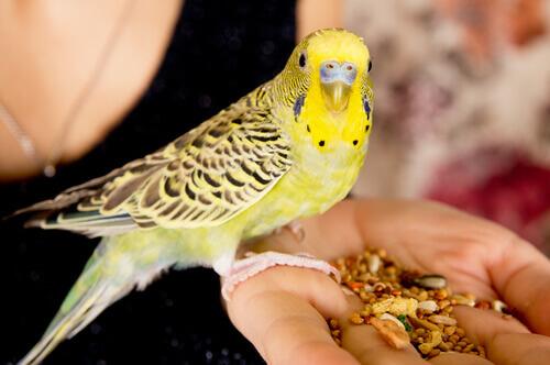 Pássaro comendo na mão da dona