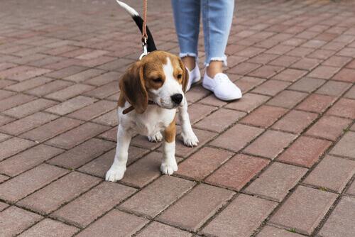 Filhote de cão passeando na coleira