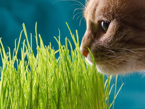 gato e grama