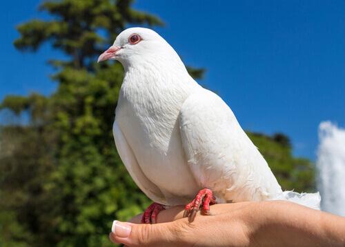 Pombo branco pousado sobre a mão de uma mulher